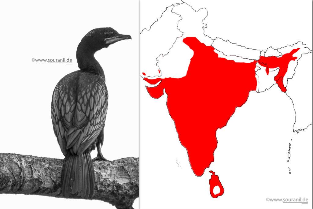 cormorantfinal-commoners