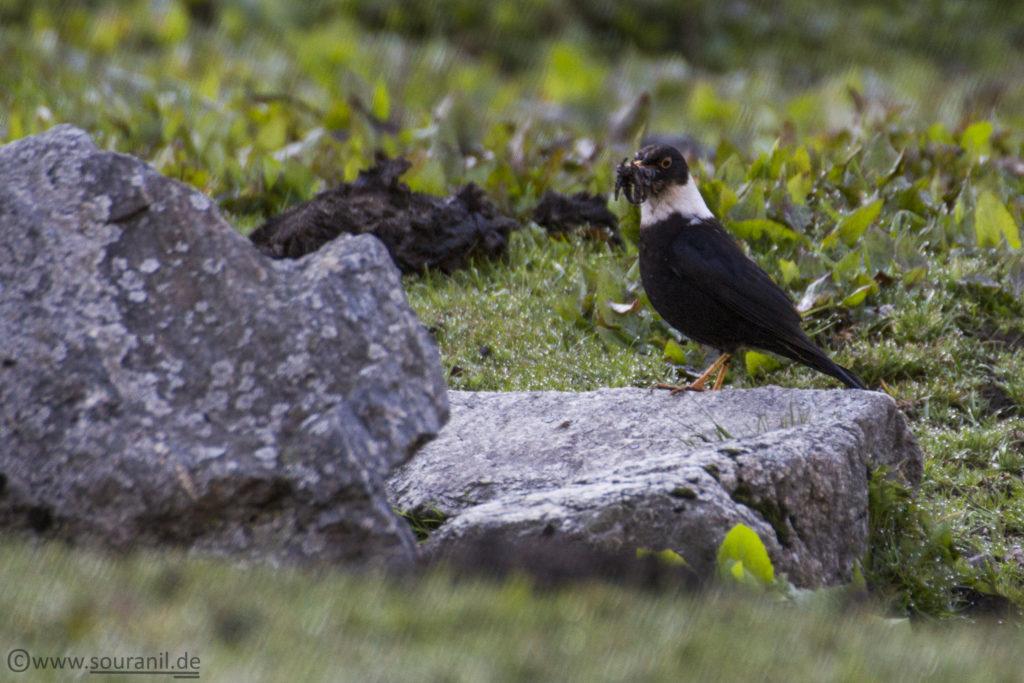 White-coloured Blackbird