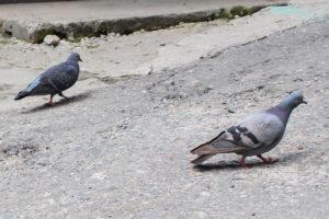Hill Pigeons