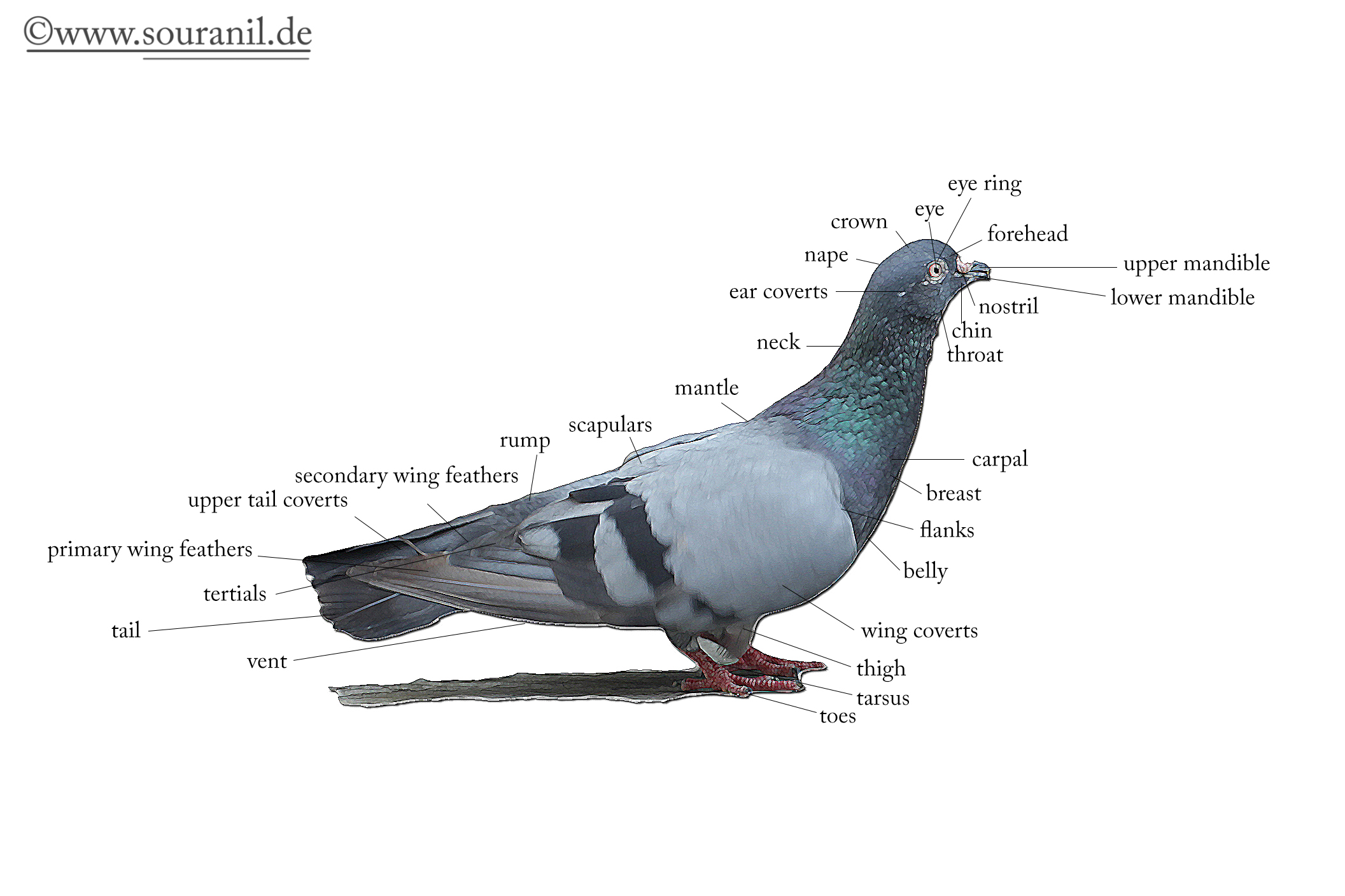 Pigeon Description