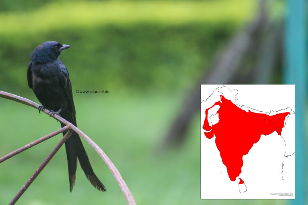 black-drongo-commoners