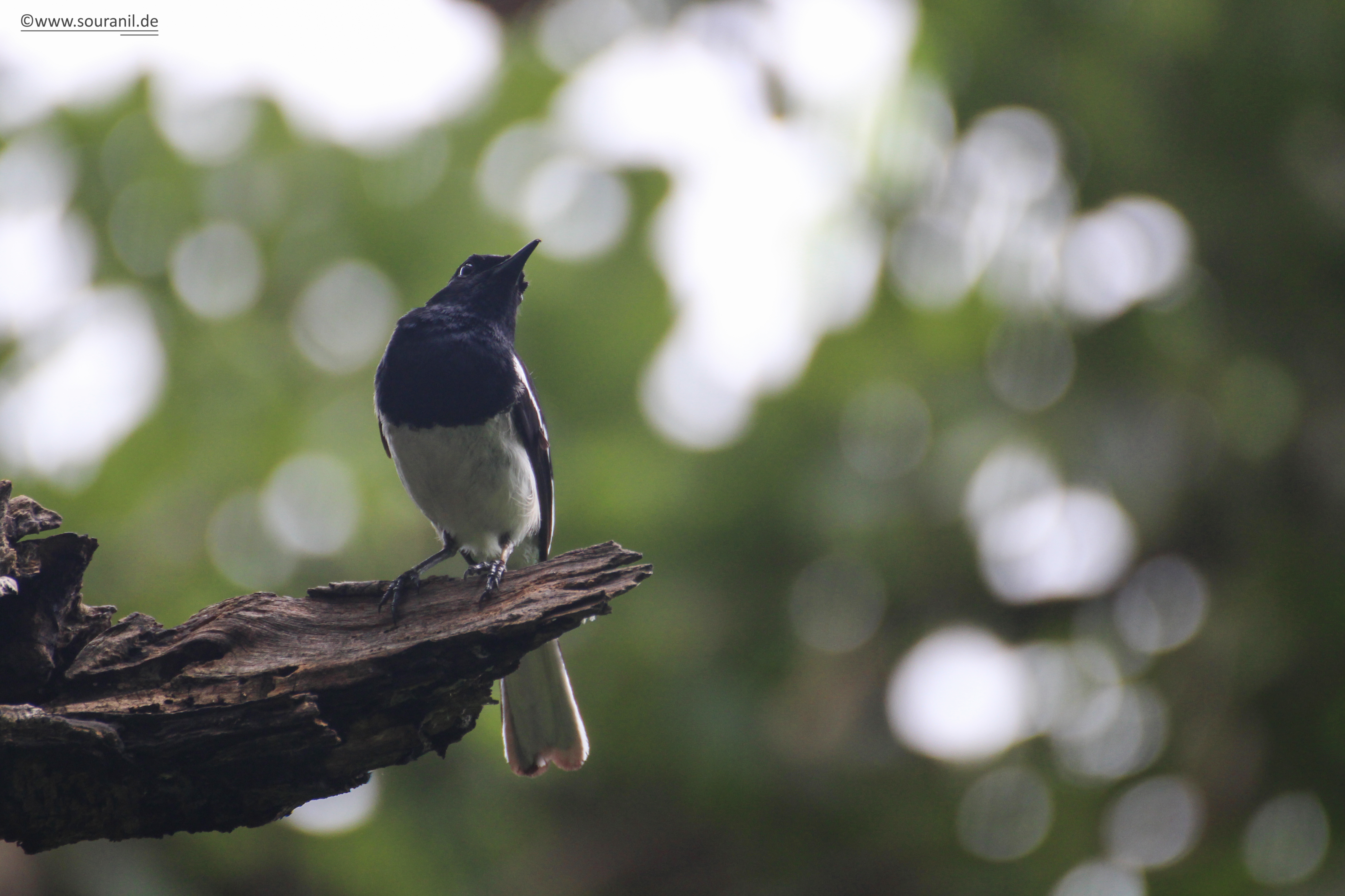 oriental-magpie-robin-commoners