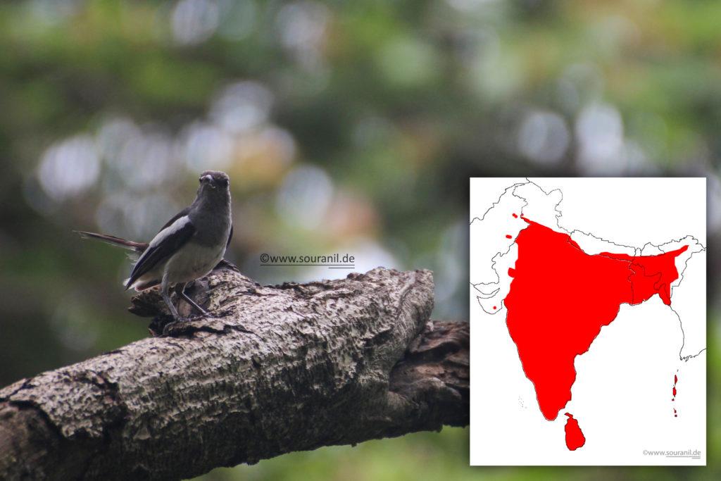 oriental-magpie-robinf