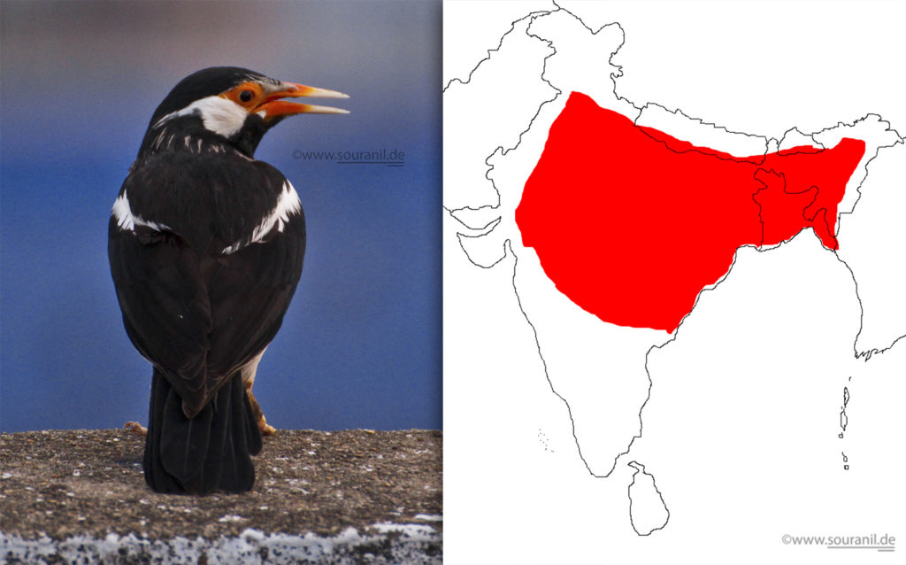 pied-mynah-commoners