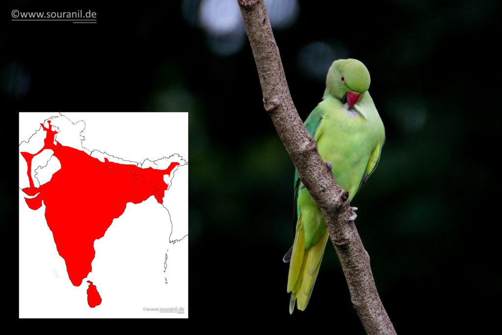 rose-ringed-parakeet-commoners