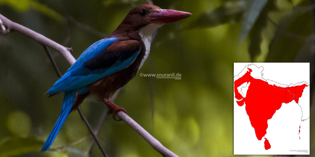 white-throated-kingfisher-commoners