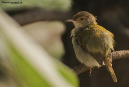 Tailorbird Commoners