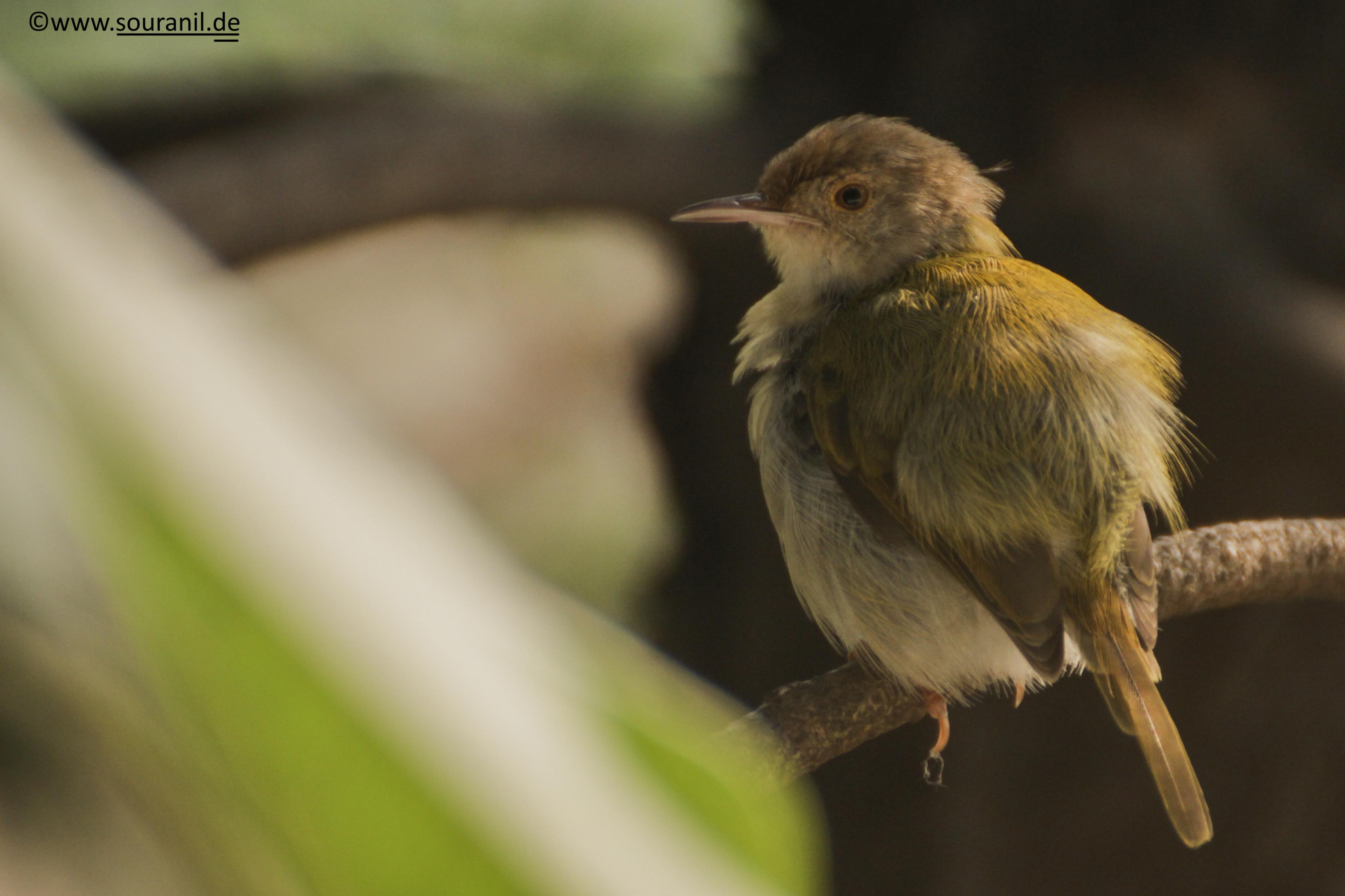 Tailorbird Commoners
