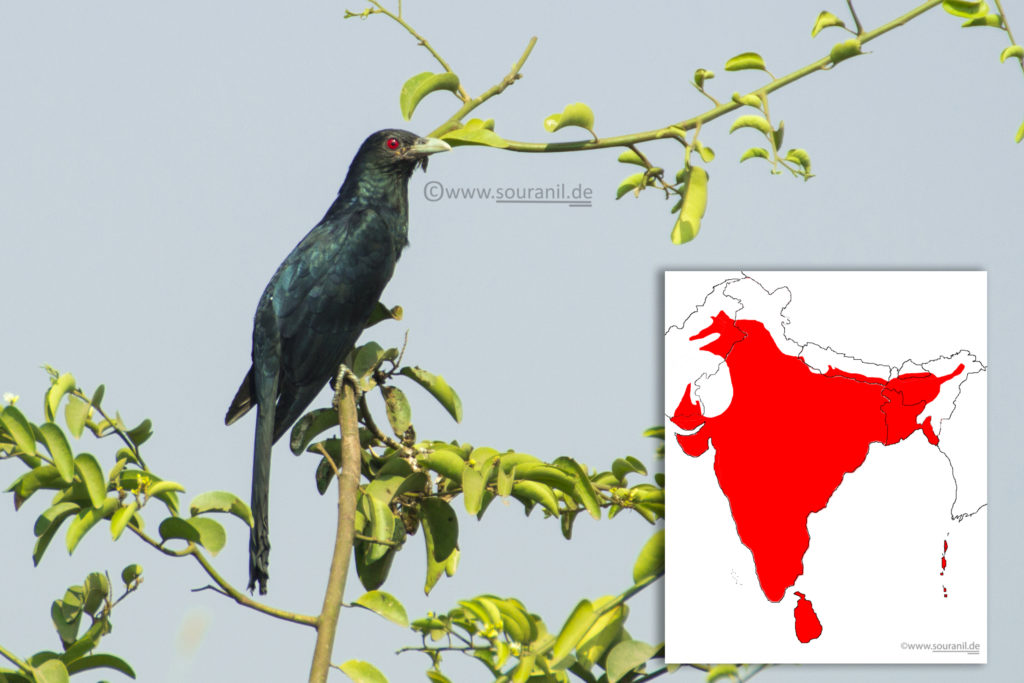 Asian Koel Commoners