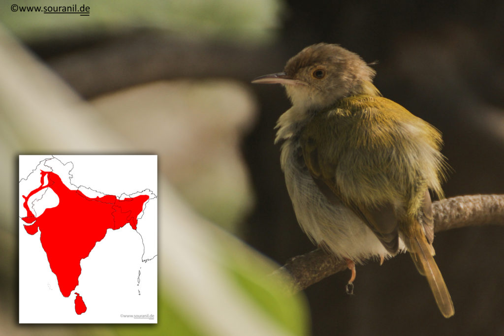 Common Tailorbird Final