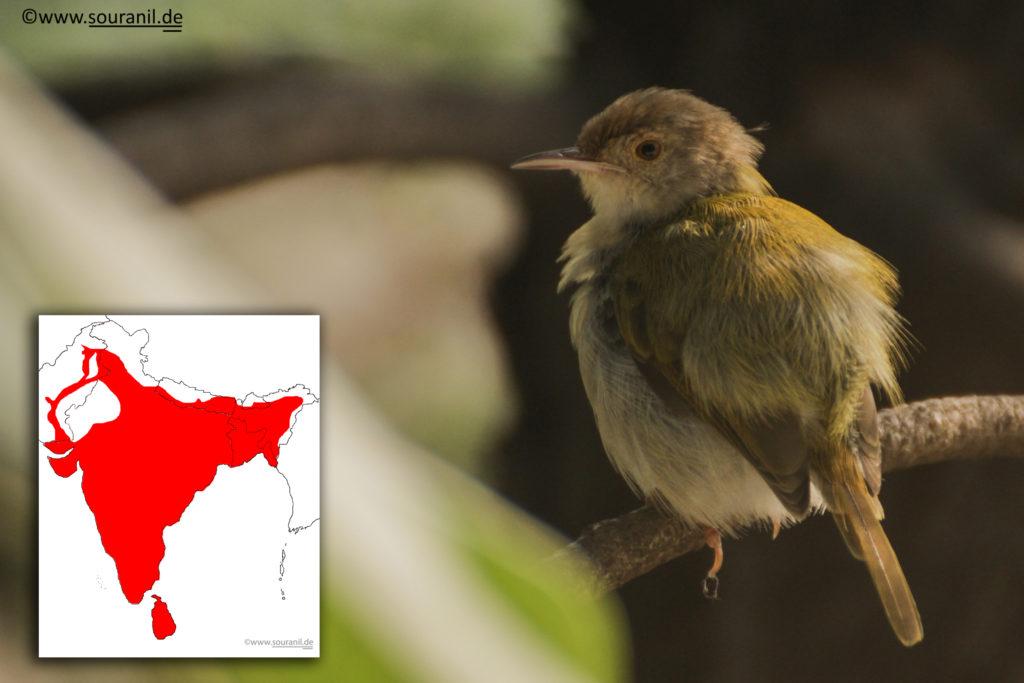 Common Tailorbird Final