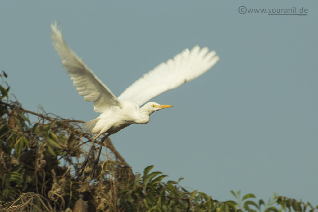 Cattle Egret Commoners