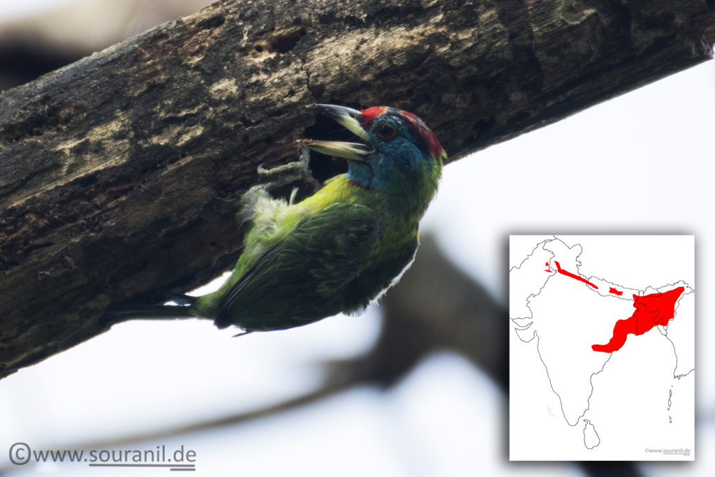 Blue Throated Barbet Commoners