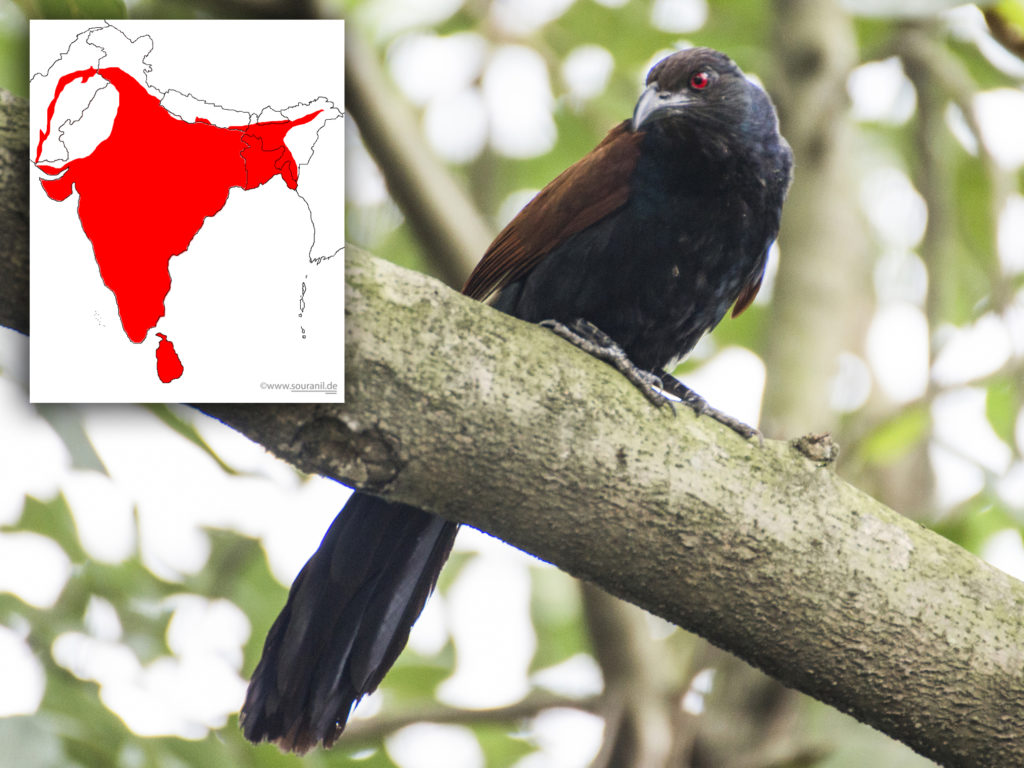 Greater Coucal Commoners
