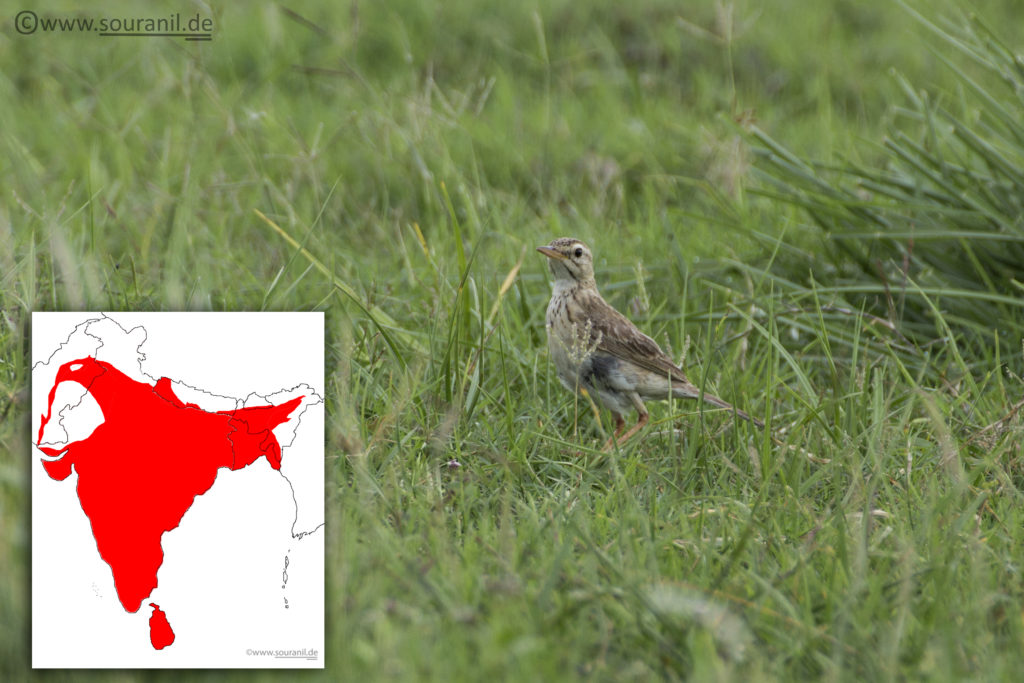 Paddyfield Pipit Commoners