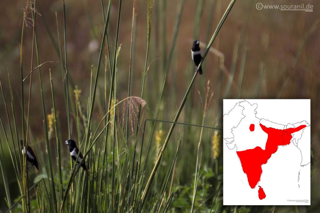 Tricoloured Munia Commoners