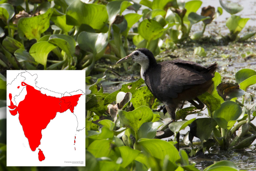 White breasted Waterhen with Distribution Map