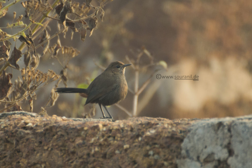 Indian Robin (Female)