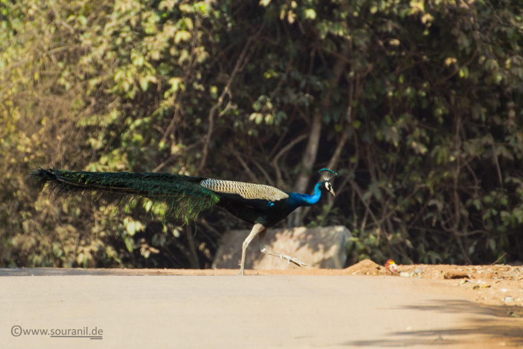 Indian Peafowl (Male)