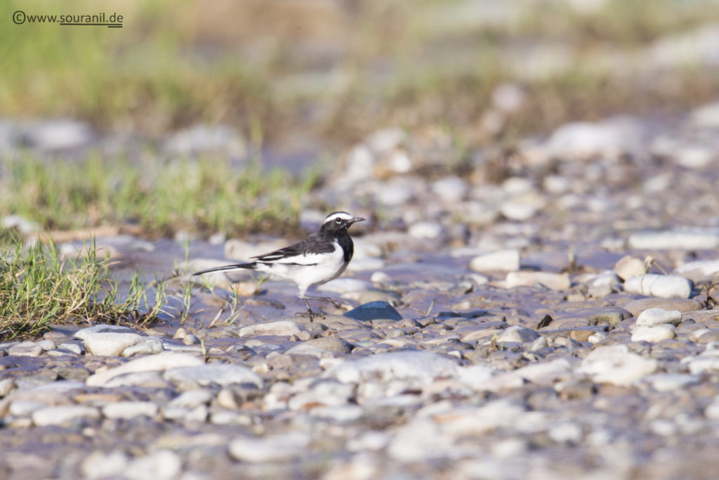 White-browed Wagtail birding in Pangot