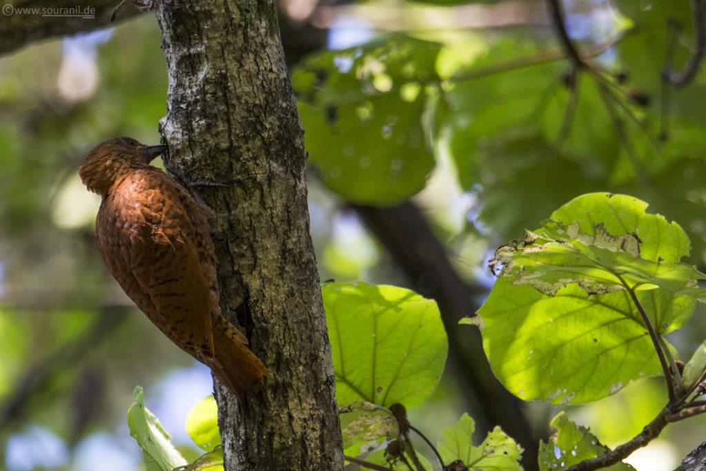 Rufous Woodpecker birding in Pangot