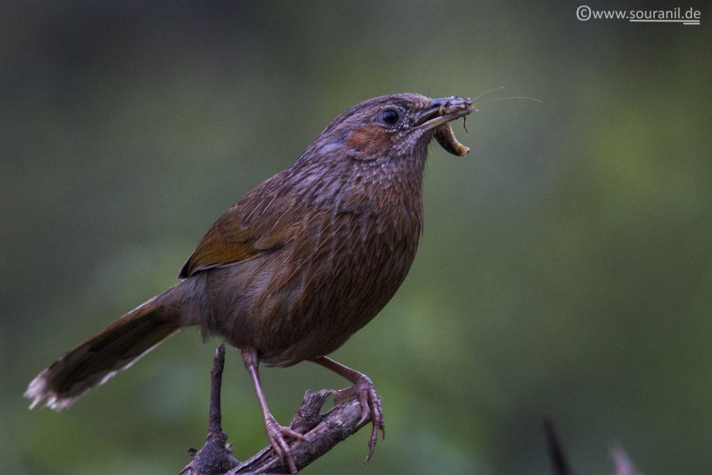 Streaked Laughingthrush birding in Pangot