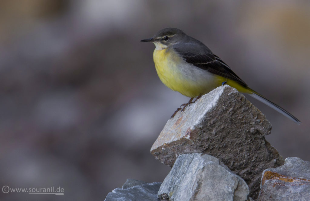 Grey Wagtail birding in Pangot