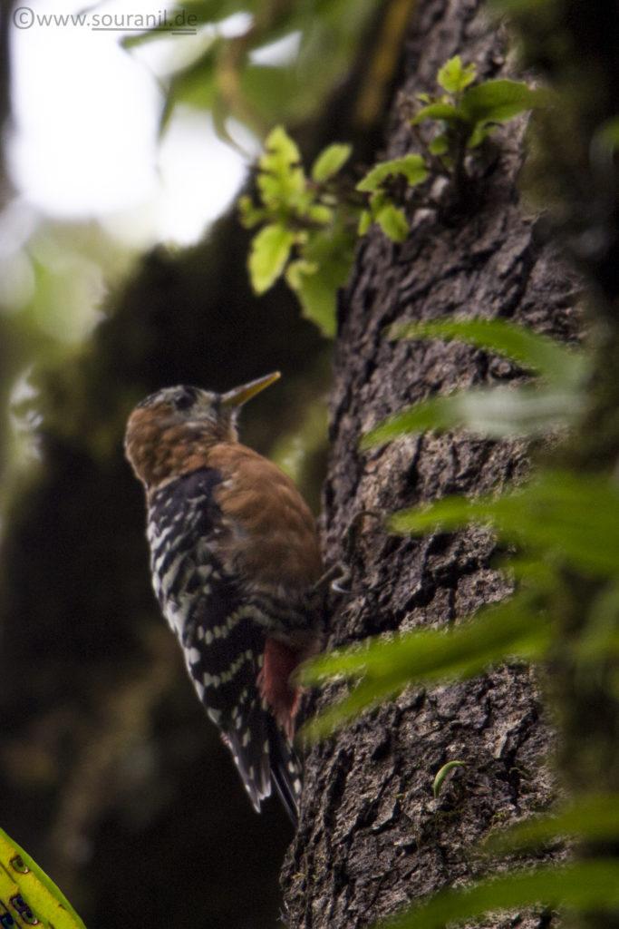Rufous-bellied Woodpecker birding in Pangot
