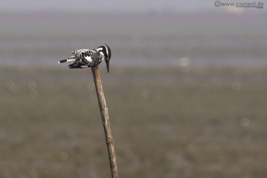 Pied Kingfisher Mangalajodi