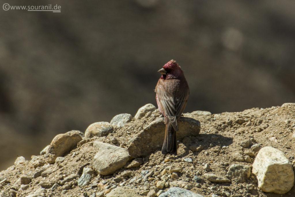 Beautiful Rosefinch