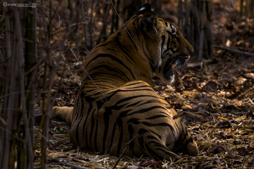 Tiger_tadoba