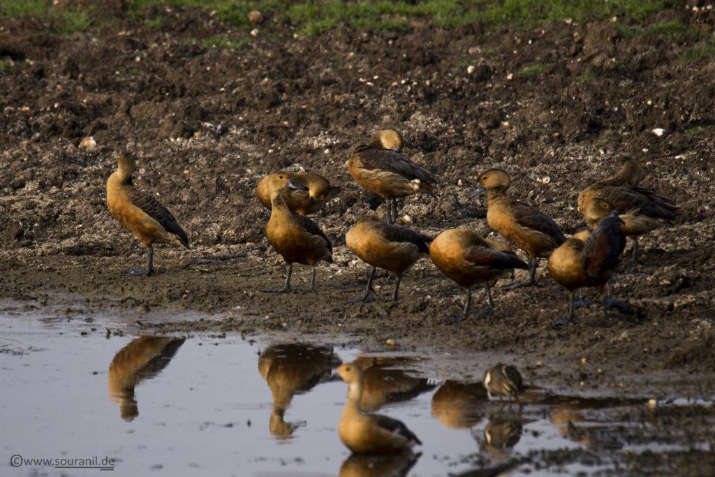 Lesser Whistling Duck Tadoba